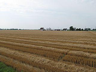 Wheat_2008 008