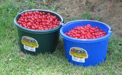 Cherries 002