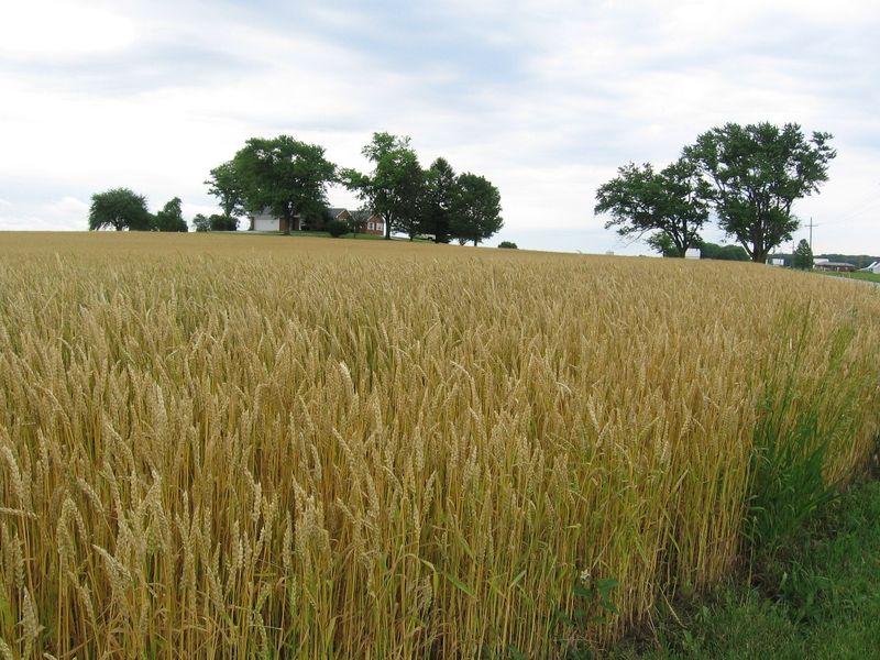Wheat_2011